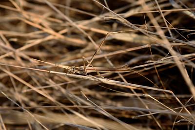 Long Headed Grasshopper, Långhuvad gräshoppa