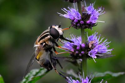 Pendelblomfluga